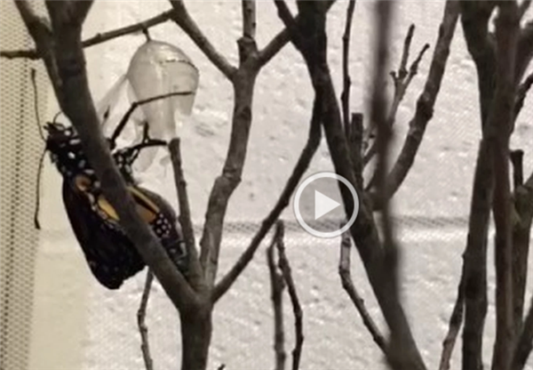 Video captures emerging Monarch butterfly!